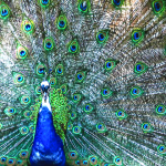 peacock-453846_640