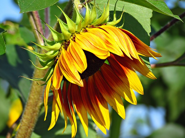 sunflower-2507779_640