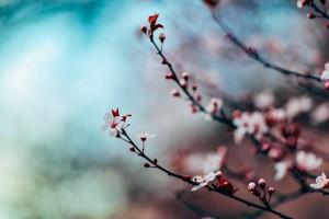 cherry-blossom-1209577_640